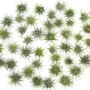100 air plant tillandsia ionantha wholesale pack