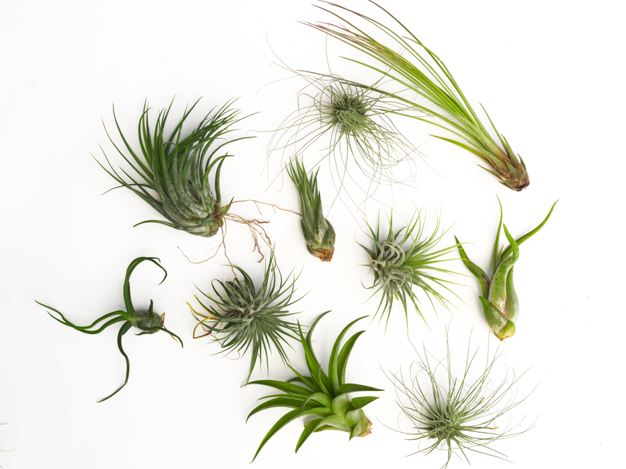 Air Plant Wedding Favors and Gifts - Air Plant Greenhouse