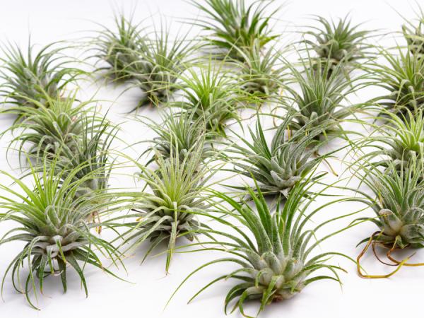 100 air plant tillandsia ionantha wholesale pack