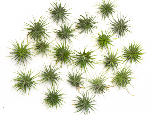 50 air plant tillandsia ionantha wholesale pack
