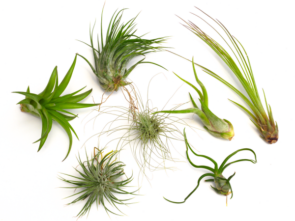 Wholesale Tillandsia Air Plant Bulk Pack