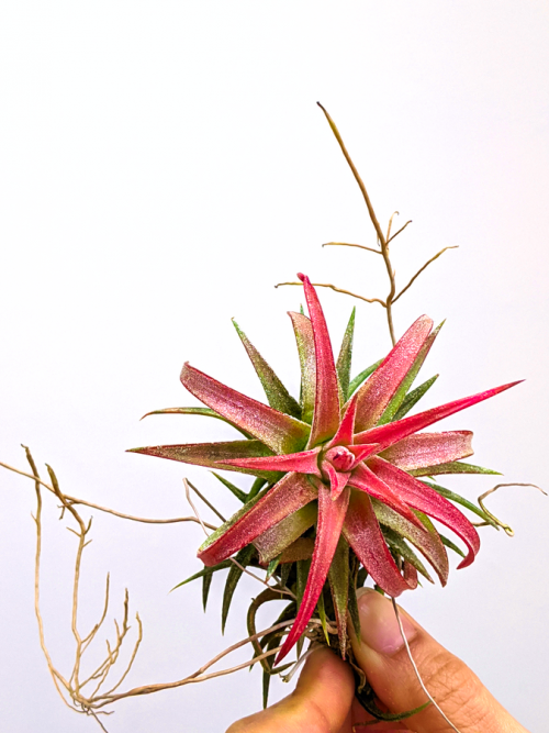 Tillandsia Ionantha Vanhyningii Blushing Red Air Plant Van Hyn Red Air Plants Bulk Sale Air Plant Greenhouse