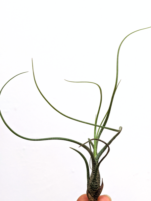 Tillandsia Butzii Air Plant Curly Leaves Small Air Plant Sale