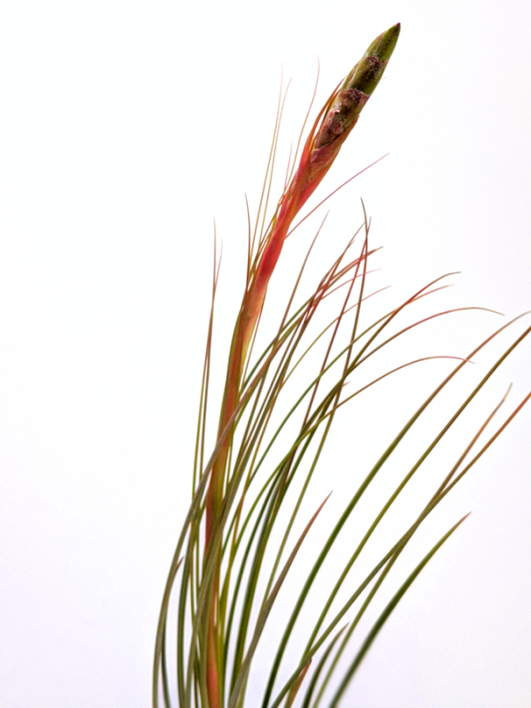 Tillandsia Juncea Tall Air Plant Large Airplant Hanging Indoor Plants Sale