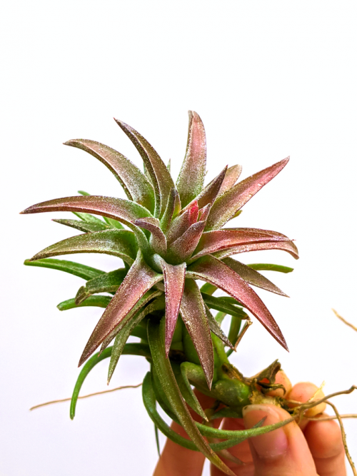 Colorful Air Plant Tillandsia Ionantha Vanhyningii Blushing Red Airplant Van Hyn Red Air Plants Bulk Sale LARGE Air Plant