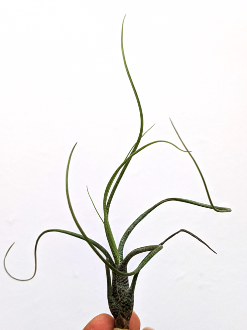 Curly Air Plant Air Plant Tillandsia Butzii Air Plants Sale Airplant Airplants Tillandsia Butzii Wholesale