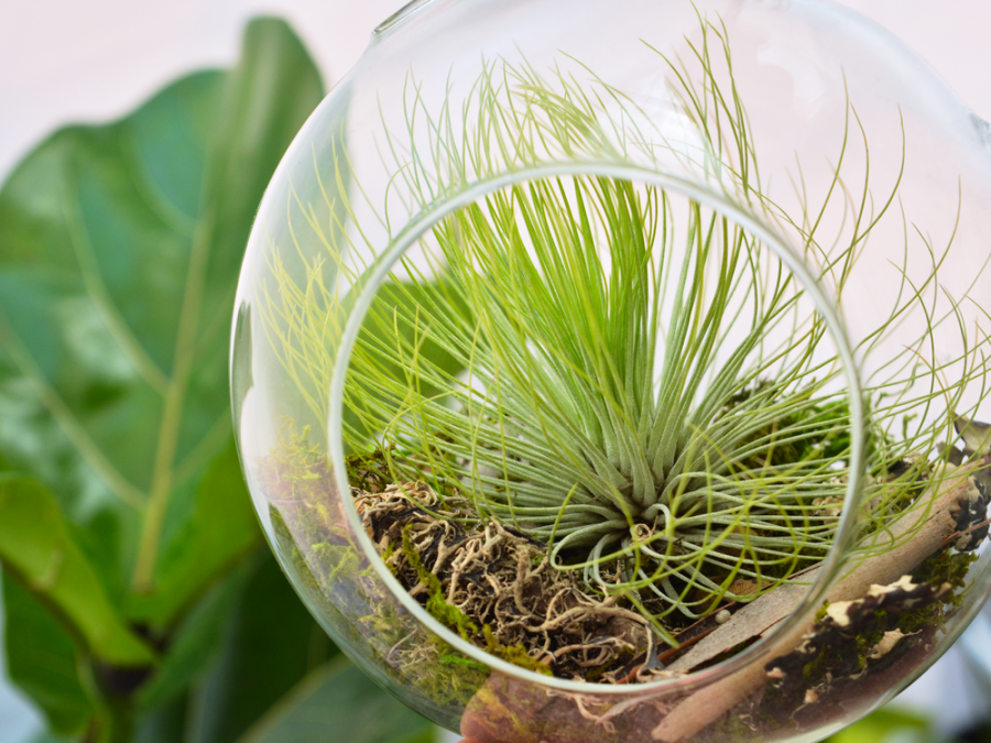 Tillandsia andreana air plant air plant greenhouse for Air plant planters