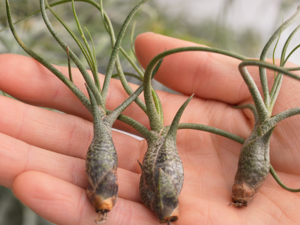 Wholesale Air Plants Tillandsia Butzii Air Plant