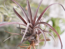 Tillandsia Capitata Domingensis Air Plant