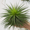 Tillandsia Stricta Hugo Air Plant