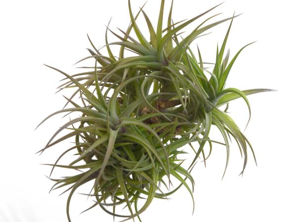 tillandsia aeranthos bronze clump