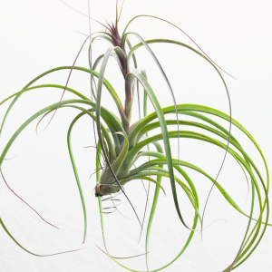 Tillandsia Balbisiana Velutina