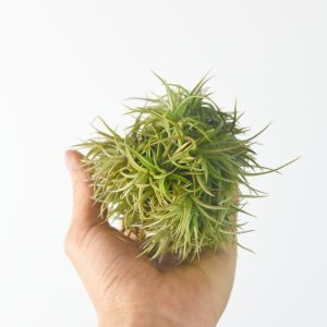 tillandsia_bronze_clump_large_1