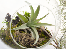 Tillandsia Harrisii Air Plant 1