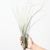 Tillandsia Juncea Large Air Plant Juncea Bulk Sale