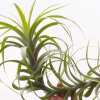 Tillandsia Latifolia Caulescent Form Air Plant
