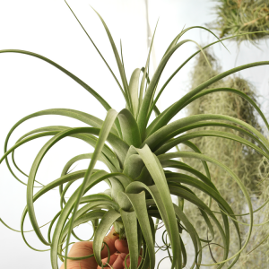 Tillandsia Redy Air Plant