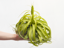 Tillandsia Rothii LARGE Air Plant Sale