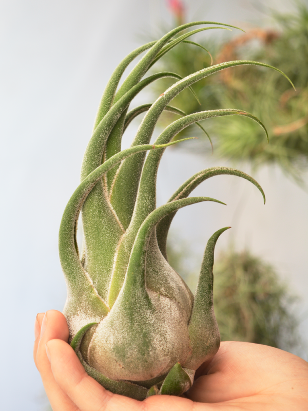 Tillandsia Seleriana Large Air Plant