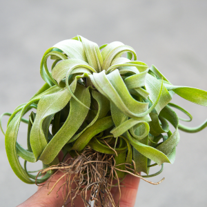 tillandsia_streptophylla_air_plant