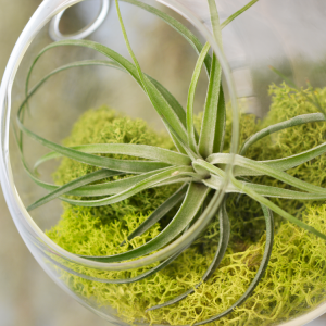 Tillandsia Stricta Air Plant
