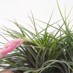 Tillandsia Stricta Clump