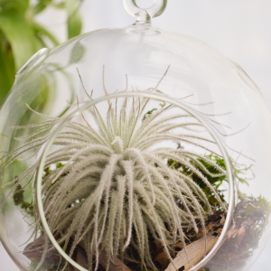 Tillandsia Tectorum Air Plant Large