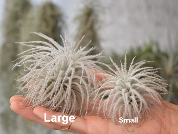 Tillandsia Tectorum Air Plant Size