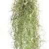 Tillandsia Usneoides Spanish Moss Air Plant