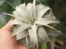 Wedding Bouquet Centerpiece Wholesale Air Plant Tillandsia Xerographica Air Plant Large