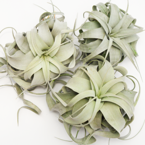 Wholesale Air Plant Tillandsia Xerographica
