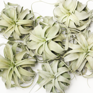 Air Plant Tillandsia Xerographica