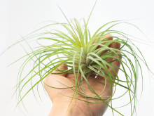 tillandsia stricta fine leaf xl