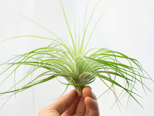tillandsia stricta fine leaf xl 3