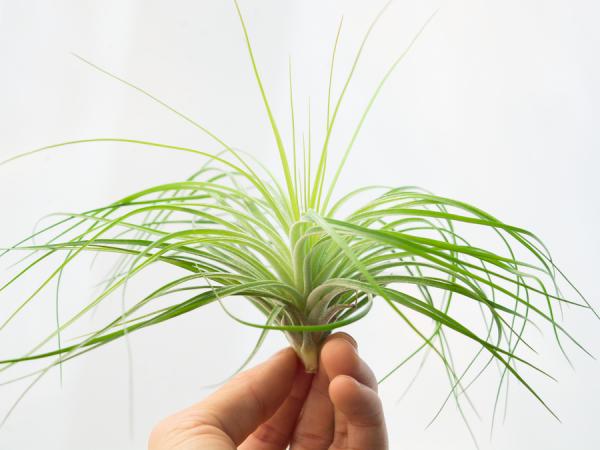 tillandsia stricta fine leaf xl 3