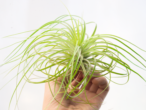 tillandsia stricta fine leaf xl 5