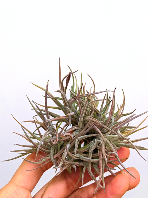 Bulk Air Plant Clump Easy To Grow Indoor Plants For Sale