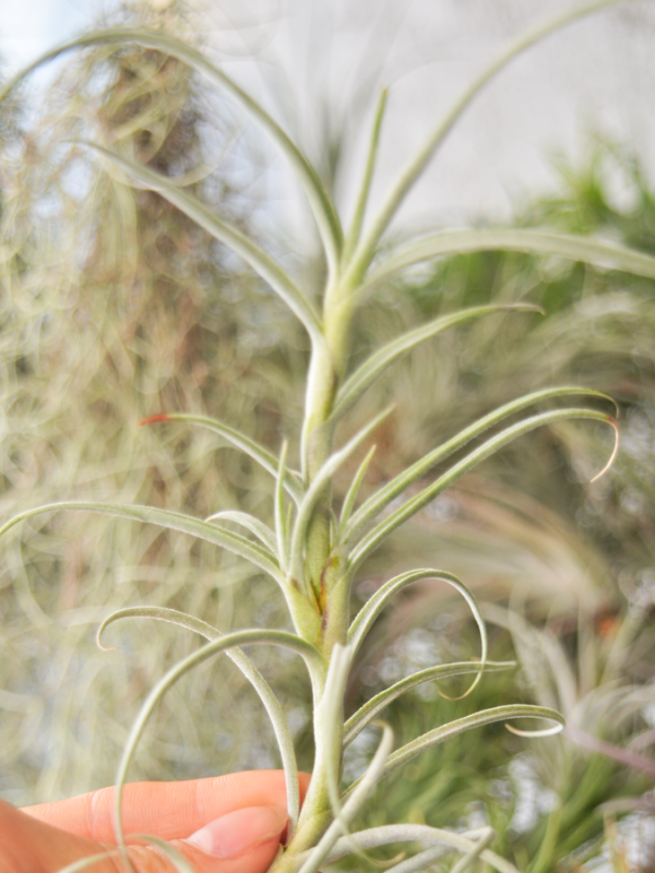 tillandsia_crocata_giant_form_air_plant_2