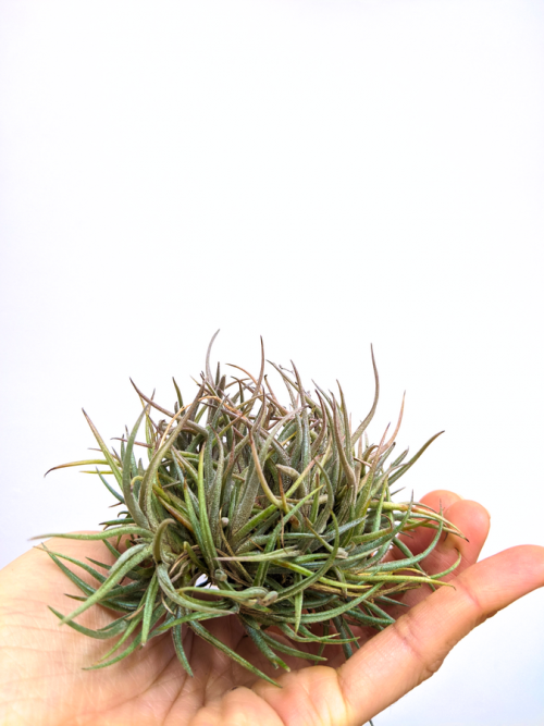 Clump Air Plant Tillandsia Bandensis Easy To Care For Air Plants Sale