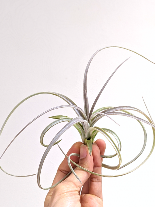 Large Curly Air Plant Tillandsia Exserta Airplant Airplants Wholesale Air Plants Sale