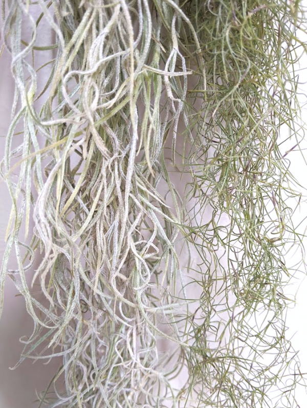 Thick Form Spanish Moss Vs Regular Spanish Moss Air Plant Tillandsia Usneoides Airplant Airplants Wholesale