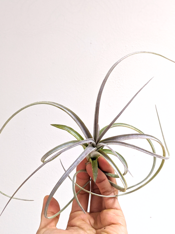 LARGE Air Plant Tillandsia Exserta #Airplant #Airplants Indoor Houseplants For Sale