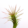 "Funckiana Tillandsia Funkiana ~3-1.5"" Spindly Plant Small Air Plant Sale"