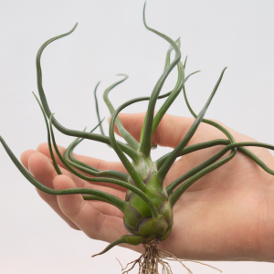 bulbosa_giant_air_plant_2
