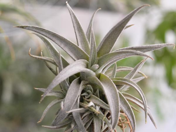 Tillandsia Chiapensis Purple Air Plant Small Hardy Houseplant 3