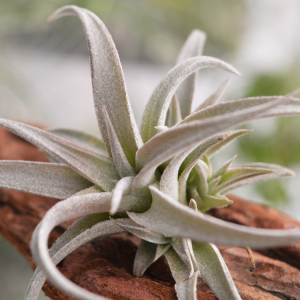 Tillandsia Chiapensis Purple Air Plant Small Hardy Houseplant 2