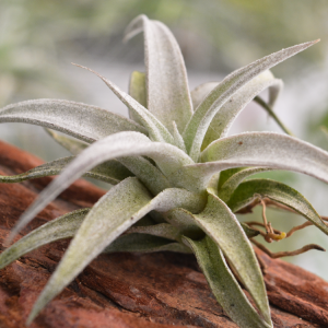 Tillandsia Chiapensis Purple Air Plant Small Hardy Houseplant 1