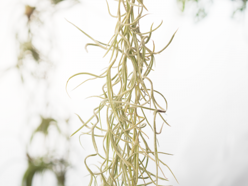 spanish_moss_usneoides_thick_form_1