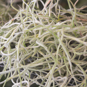 spanish_moss_usneoides_thick_form_3