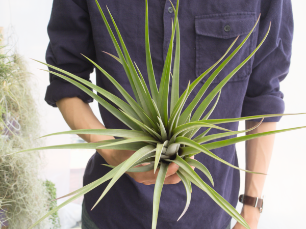 tillandsia Jalisco Monticola hybrid Air Plant Large Air Plants Airplant Sale